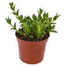 Kanna | Avalon Magic Plants